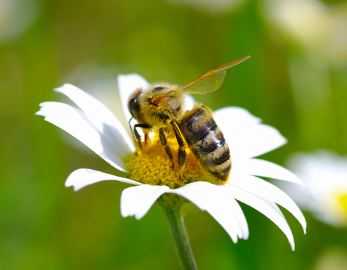 Bee-friendly Gardening