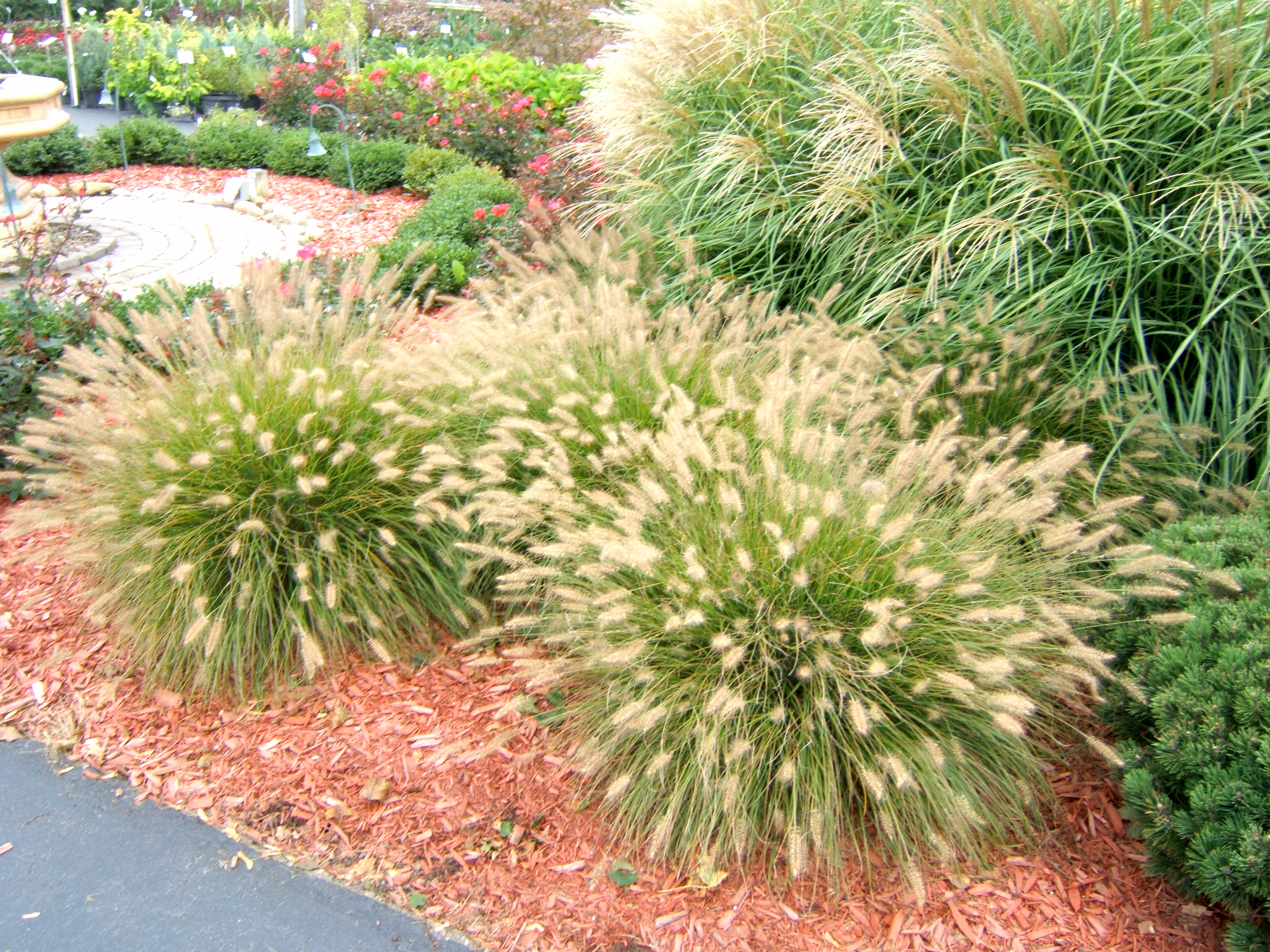 Successfully Grow Ornamental Grasses